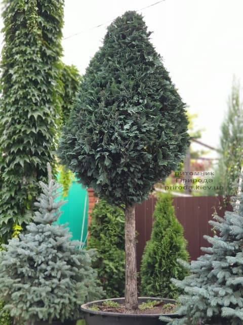 Кипарисовик Лавсона Колумнарис (Chamaecyparis lawsoniana Columnaris) ФОТО Питомник растений Природа (3)