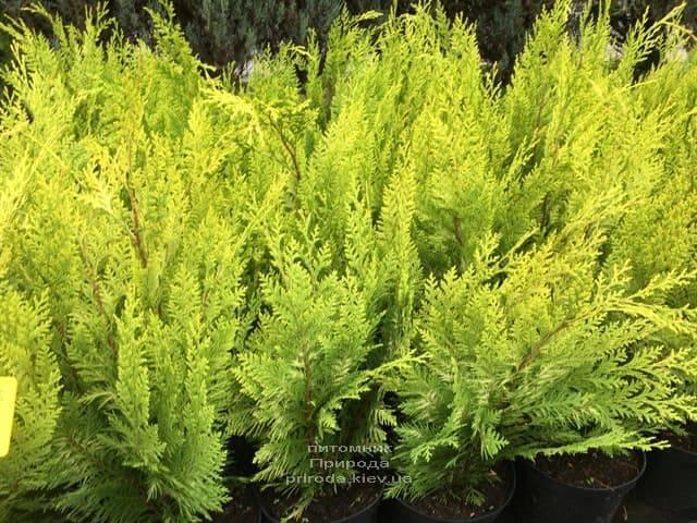 Кипарисовик Лавсона Ивонне на штамбе (Chamaecyparis lawsoniana Ivonne) ФОТО Питомник растений Природа (4)