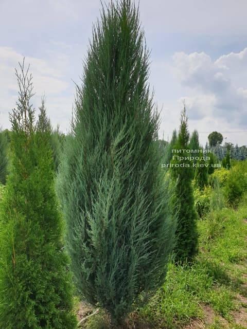 Можжевельник скальный Блю Арроу (Блю Эрроу) (Juniperus scopolorum Blue Arrow) ФОТО Питомник растений Природа (22)