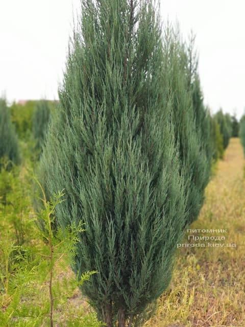 Можжевельник скальный Блю Арроу (Блю Эрроу) (Juniperus scopolorum Blue Arrow) ФОТО Питомник растений Природа (24)